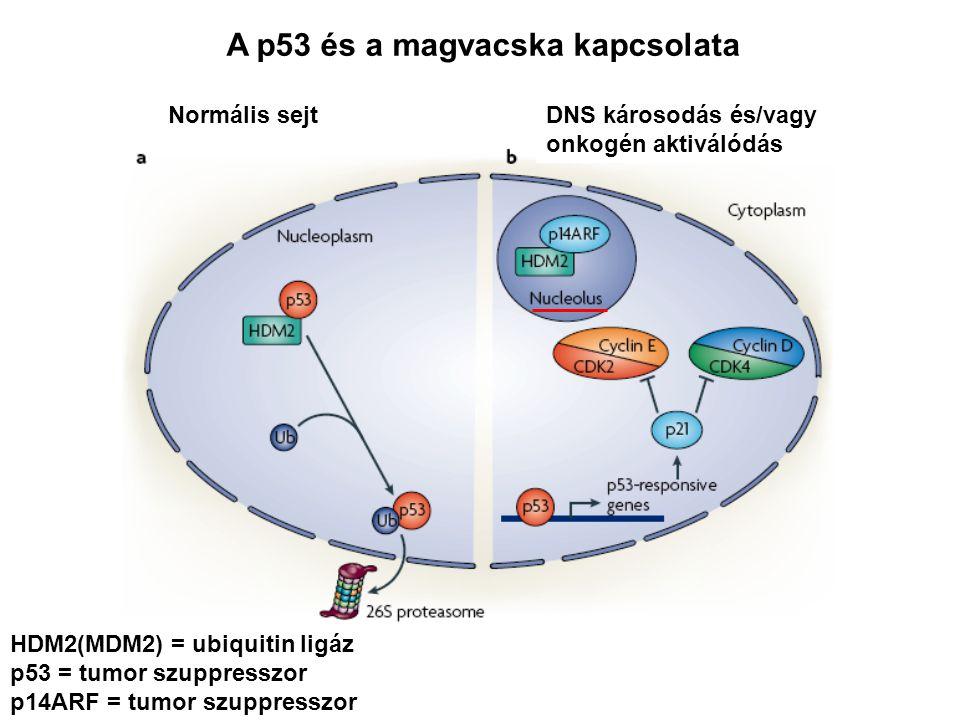 A p53 és a magvacska kapcsolata