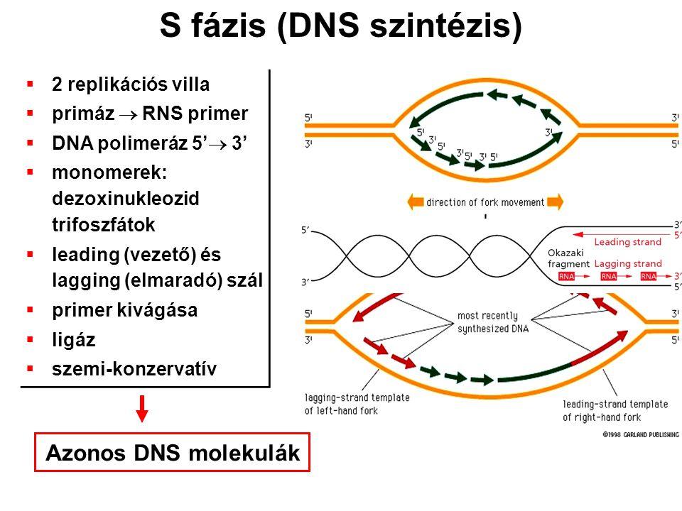 S fázis (DNS szintézis)