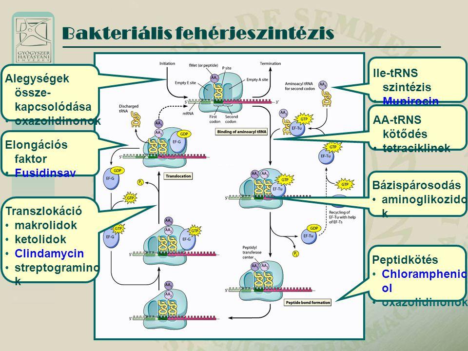 Bakteriális fehérjeszintézis