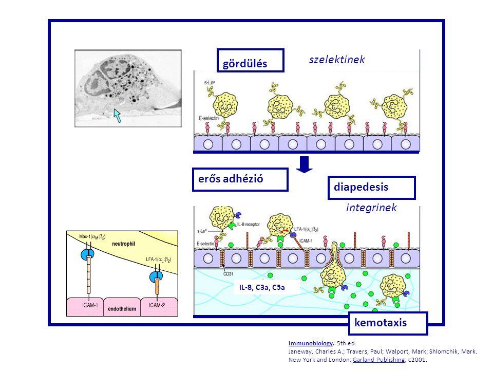 szelektinek gördülés erős adhézió diapedesis integrinek kemotaxis