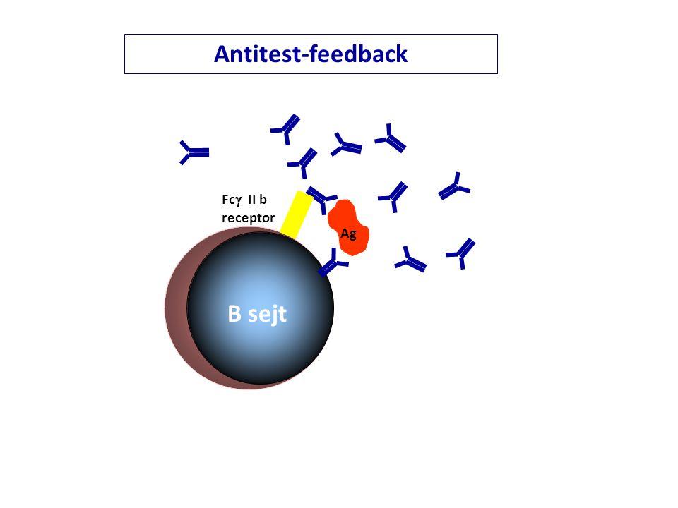 Antitest-feedback Fc II b receptor Ag B sejt