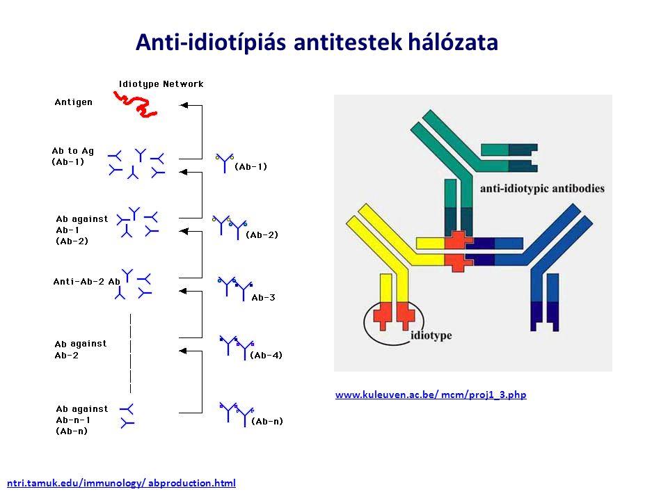 Anti-idiotípiás antitestek hálózata