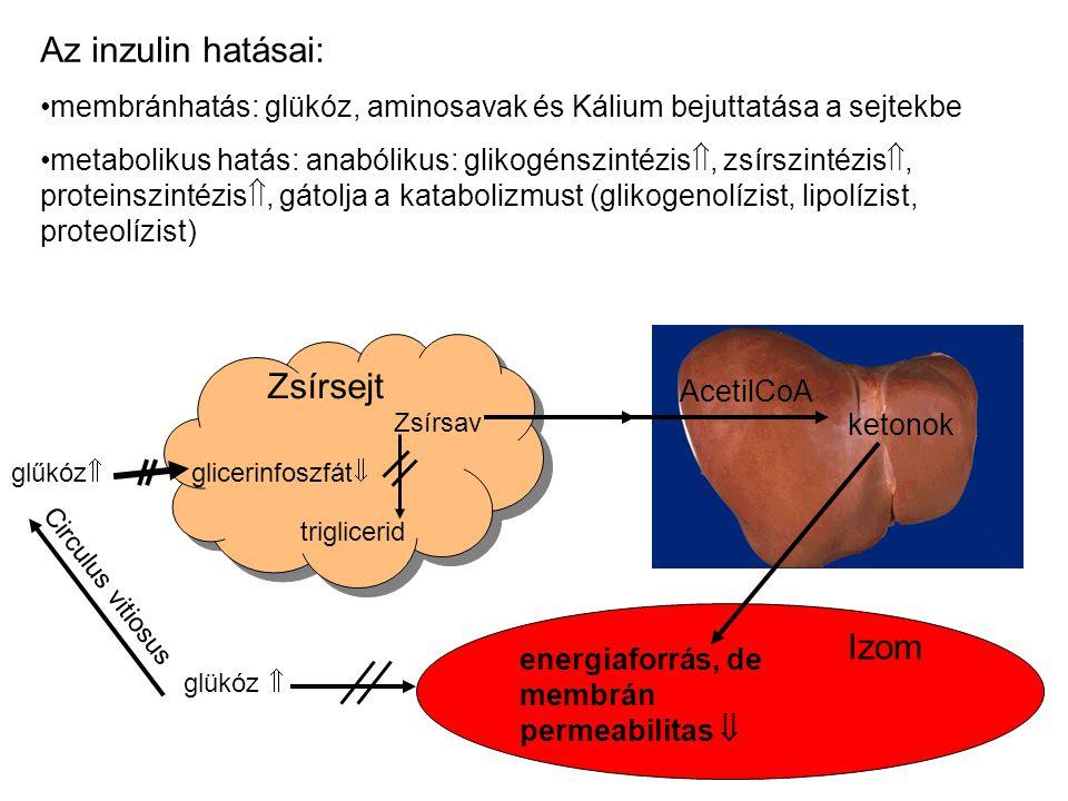 Az inzulin hatásai: Zsírsejt Izom