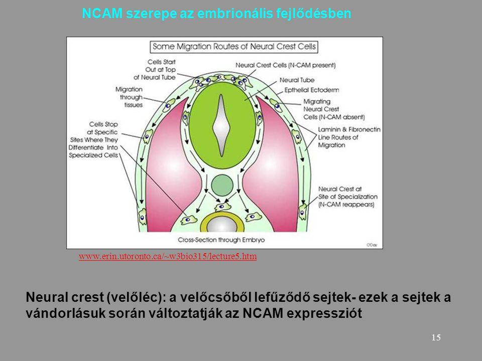 NCAM szerepe az embrionális fejlődésben