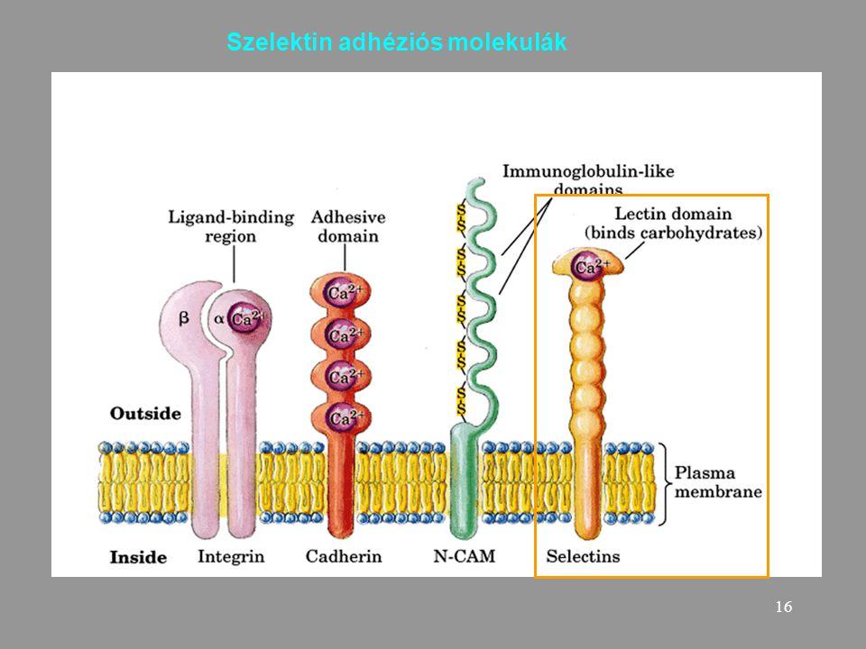 Szelektin adhéziós molekulák