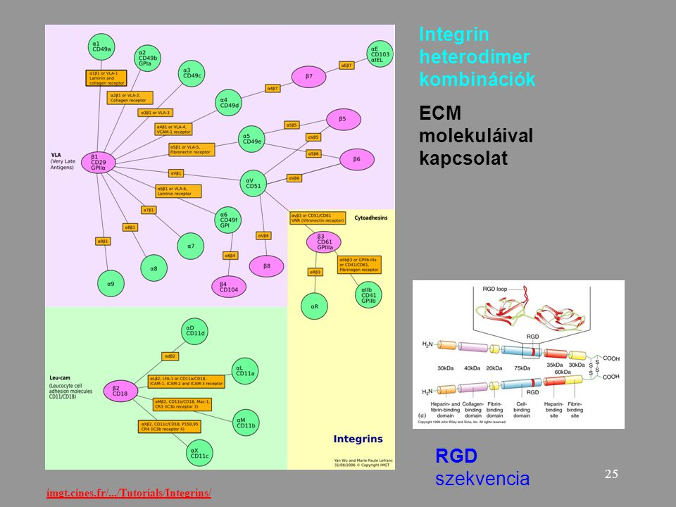 Integrin heterodimer kombinációk