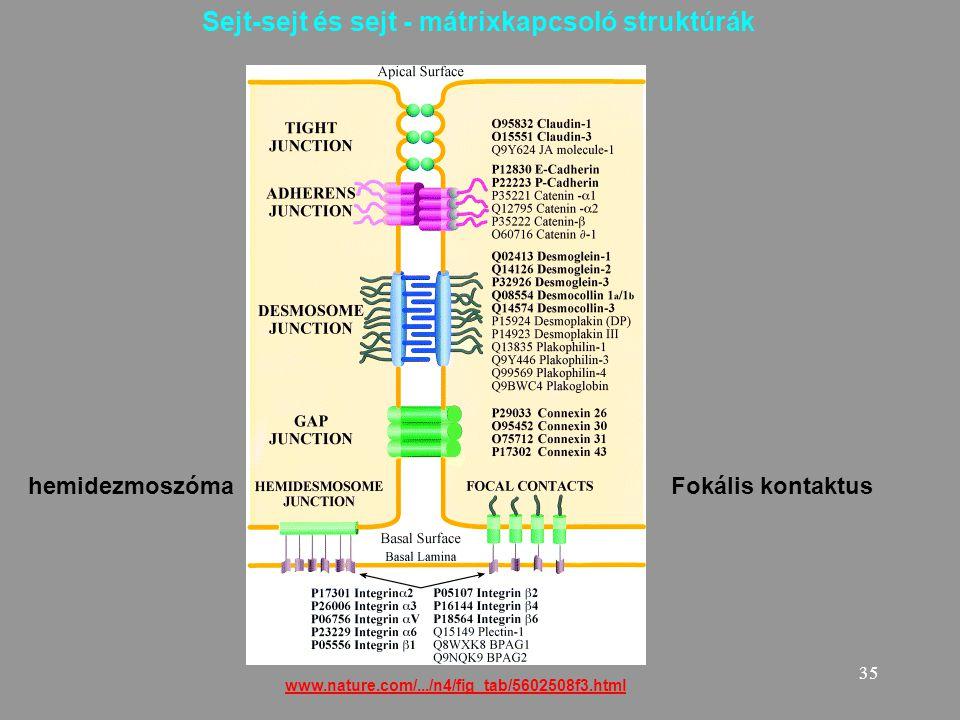Sejt-sejt és sejt - mátrixkapcsoló struktúrák