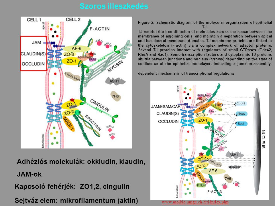 Szoros illeszkedés Adhéziós molekulák: okkludin, klaudin, JAM-ok