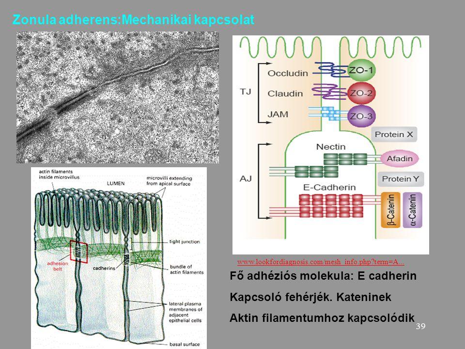 Zonula adherens:Mechanikai kapcsolat