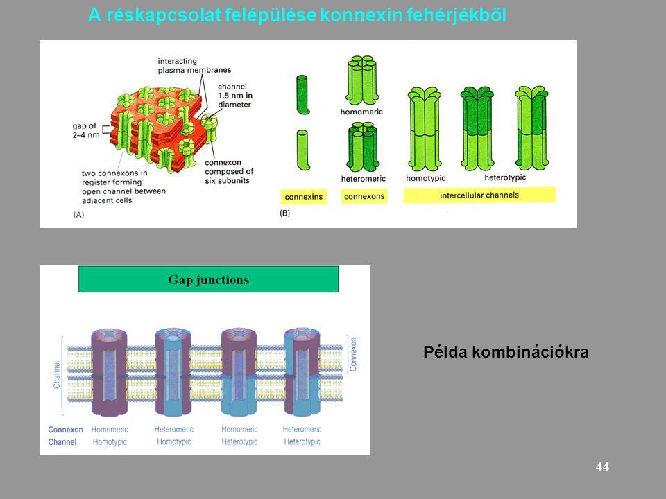 A réskapcsolat felépülése konnexin fehérjékből