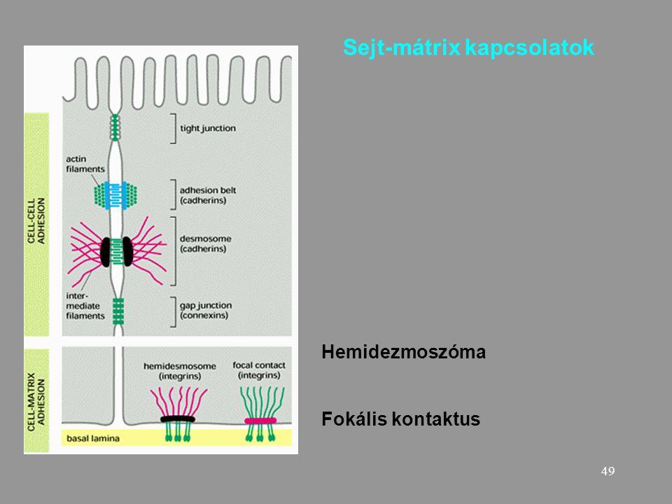 Sejt-mátrix kapcsolatok