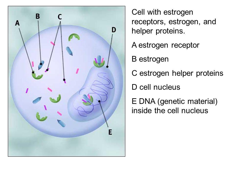 Cell with estrogen receptors, estrogen, and helper proteins.