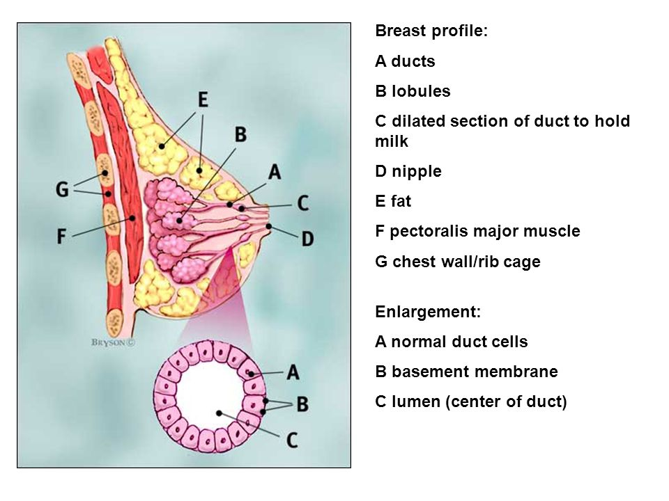 Breast profile: A ducts. B lobules. C dilated section of duct to hold milk. D nipple. E fat. F pectoralis major muscle.