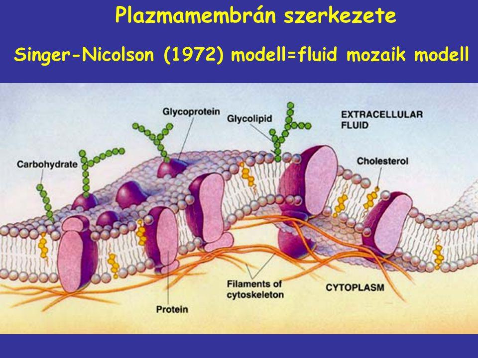 Plazmamembrán szerkezete