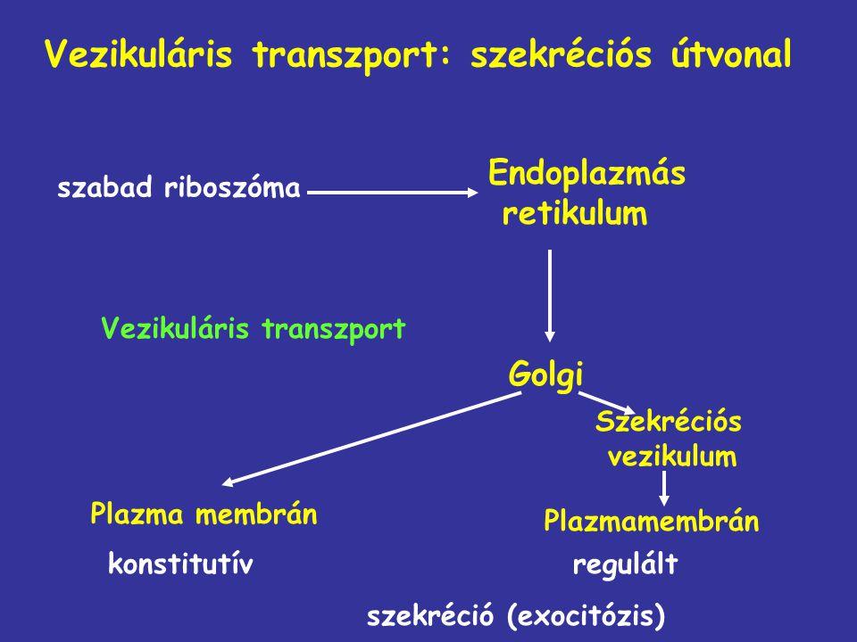 Vezikuláris transzport: szekréciós útvonal