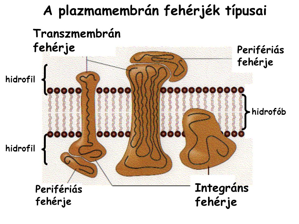 A plazmamembrán fehérjék típusai