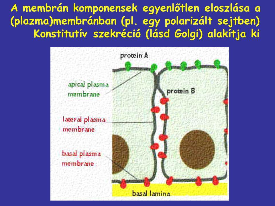 A membrán komponensek egyenlőtlen eloszlása a