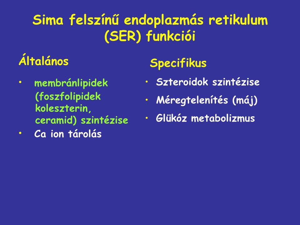 Sima felszínű endoplazmás retikulum (SER) funkciói