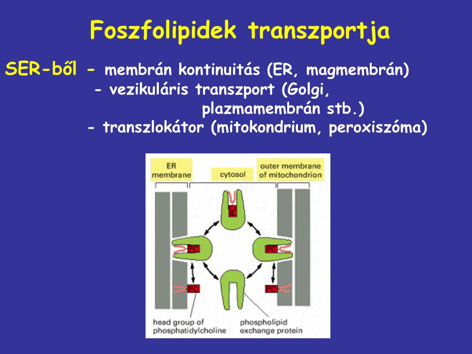 Foszfolipidek transzportja