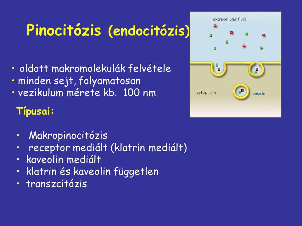 Pinocitózis (endocitózis)