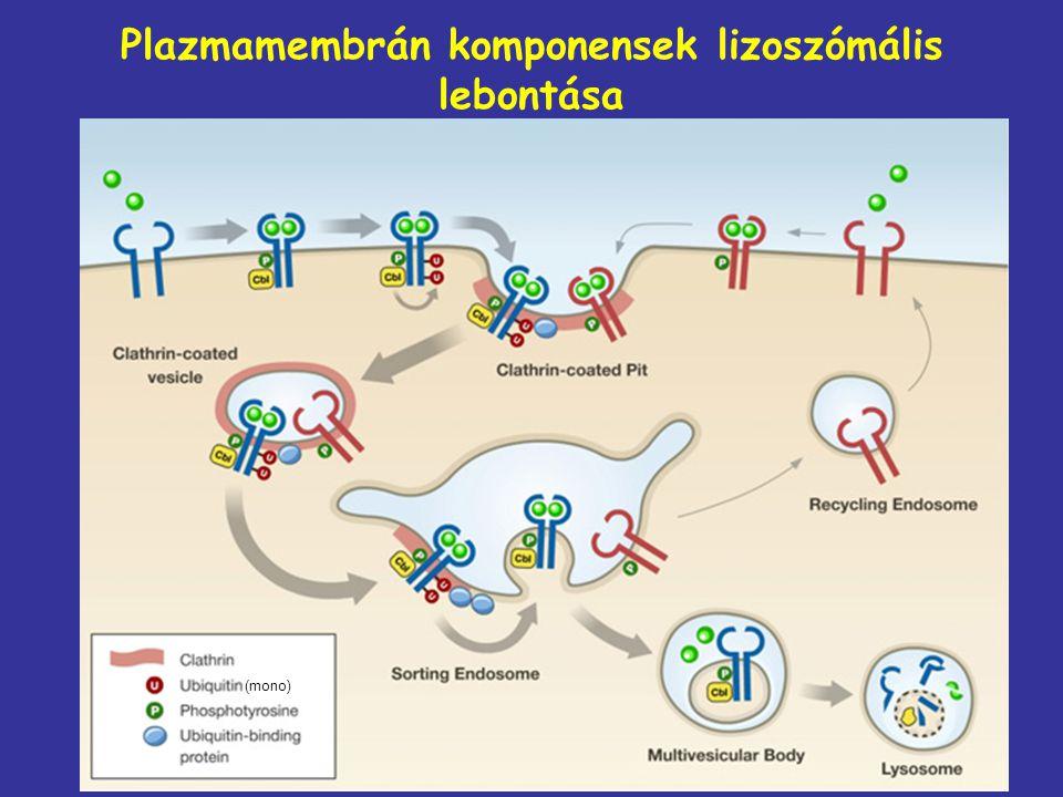 Plazmamembrán komponensek lizoszómális lebontása