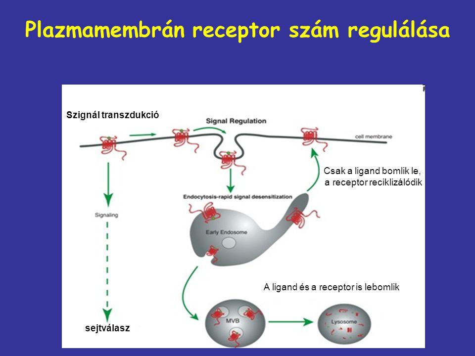 Plazmamembrán receptor szám regulálása