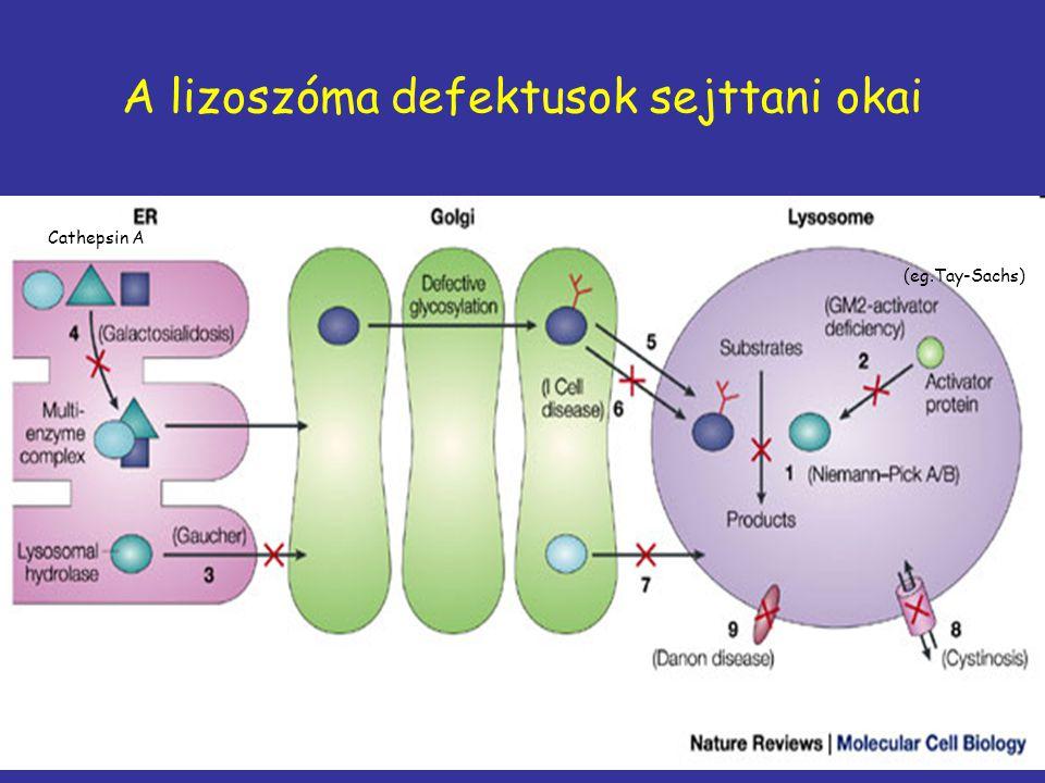A lizoszóma defektusok sejttani okai