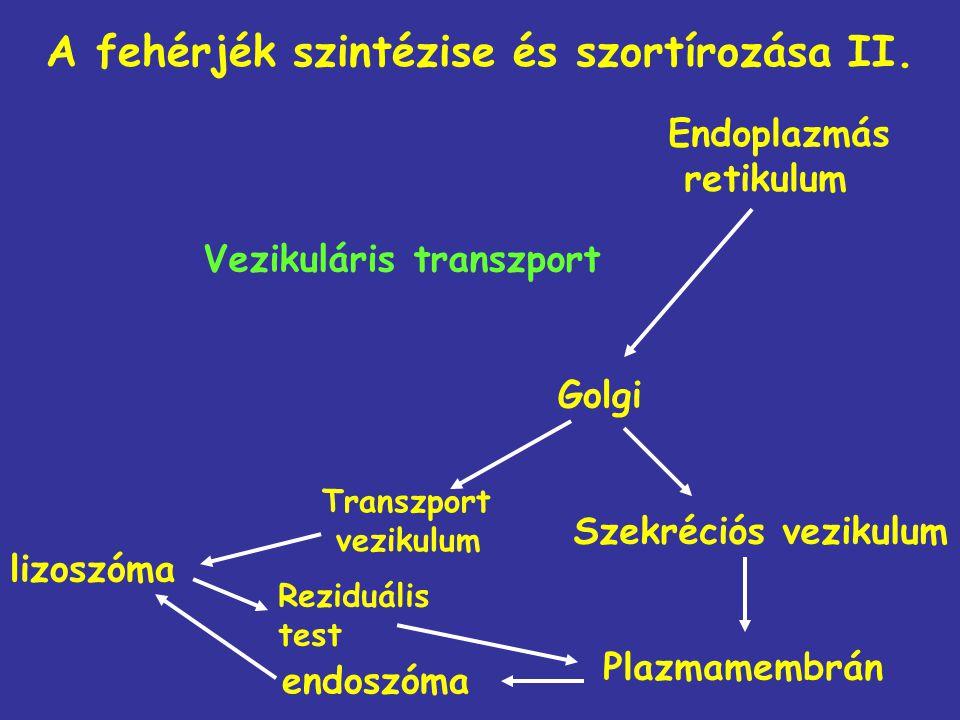 A fehérjék szintézise és szortírozása II.