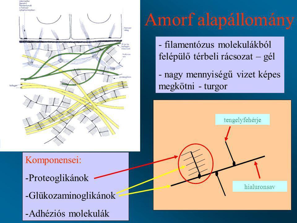 Amorf alapállomány filamentózus molekulákból felépülő térbeli rácsozat – gél. nagy mennyiségű vizet képes megkötni - turgor.