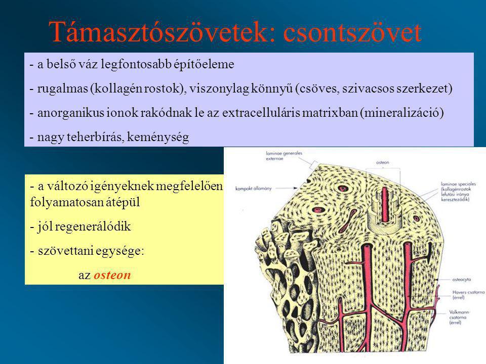 Támasztószövetek: csontszövet