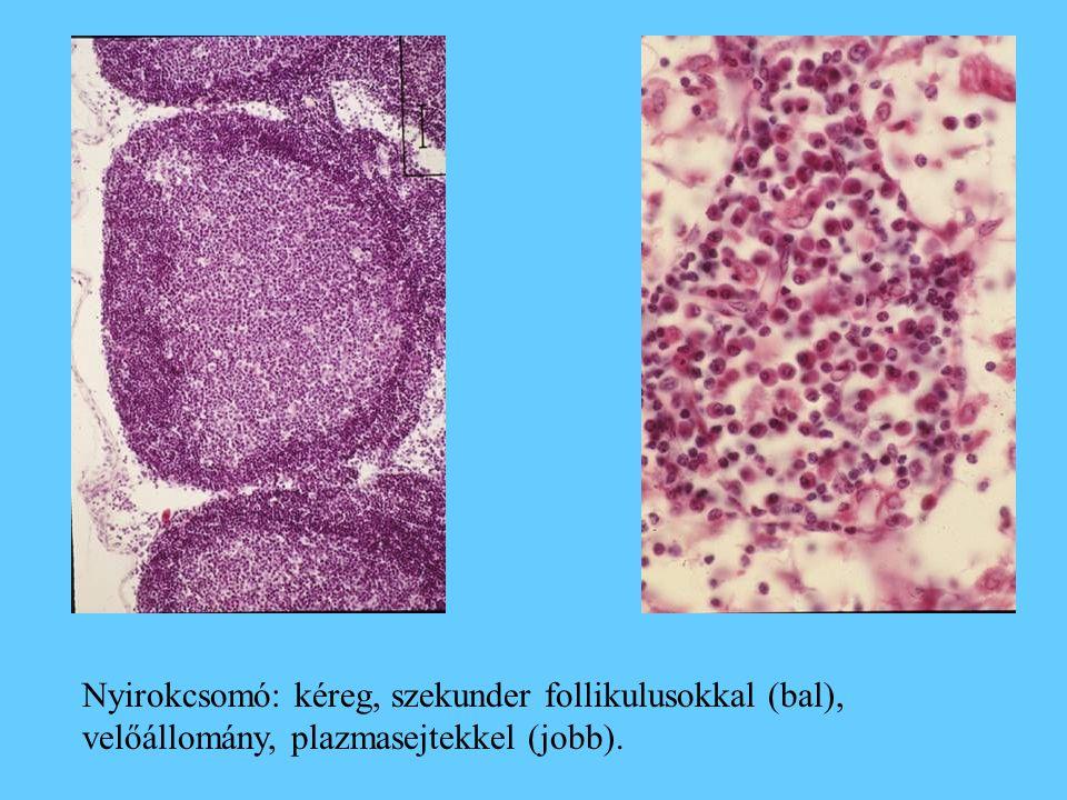 Nyirokcsomó: kéreg, szekunder follikulusokkal (bal), velőállomány, plazmasejtekkel (jobb).