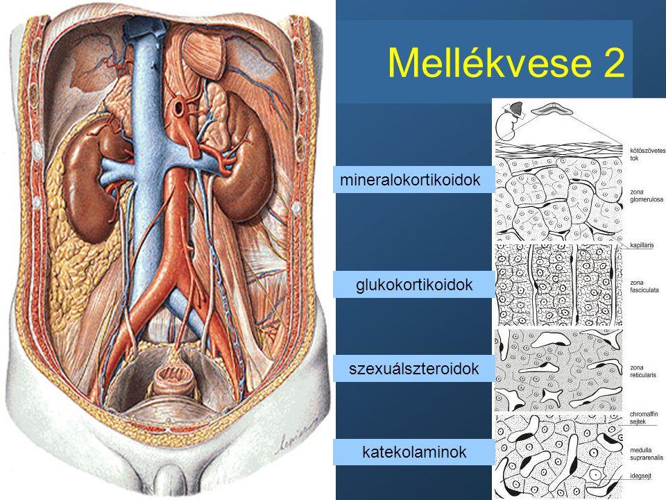 Mellékvese 2 mineralokortikoidok glukokortikoidok szexuálszteroidok