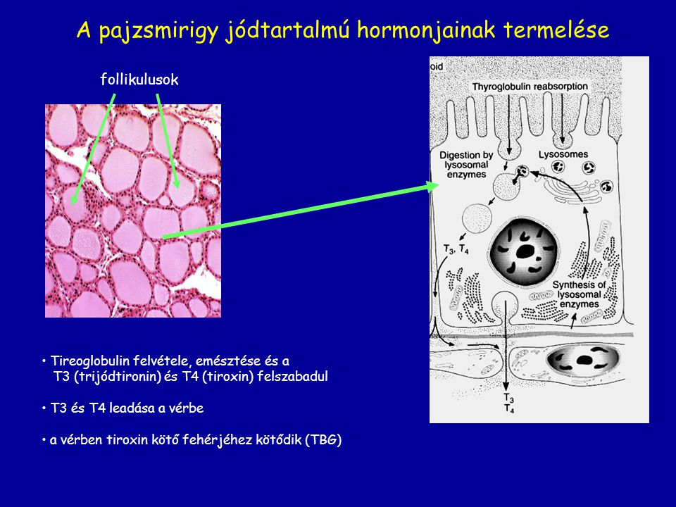 A pajzsmirigy jódtartalmú hormonjainak termelése
