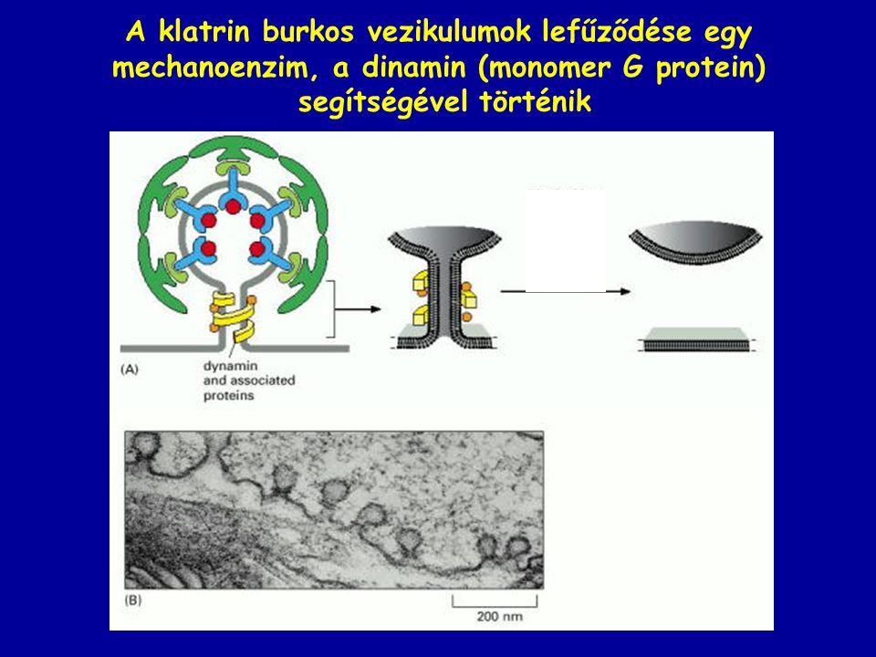 A klatrin burkos vezikulumok lefűződése egy