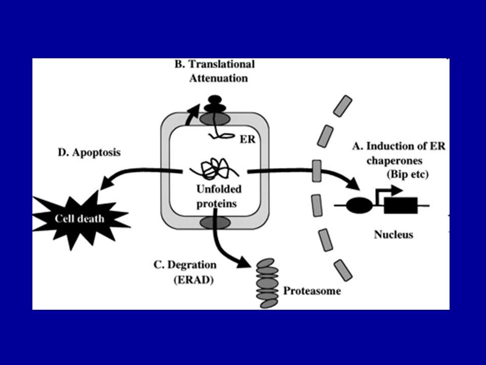 he ER stress response pathway (7)