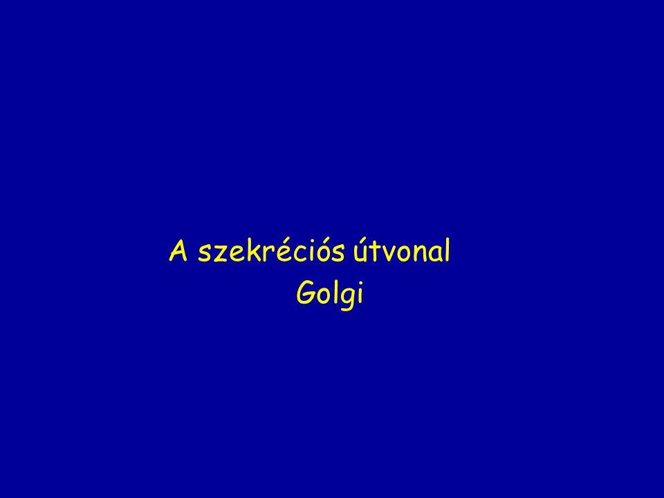 A szekréciós útvonal Golgi