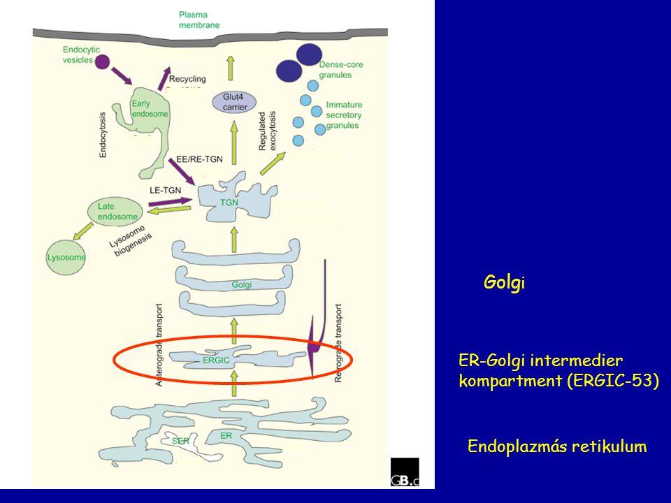 Golgi ER-Golgi intermedier kompartment (ERGIC-53)