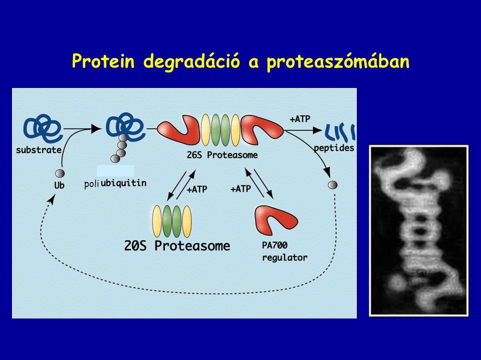 Protein degradáció a proteaszómában