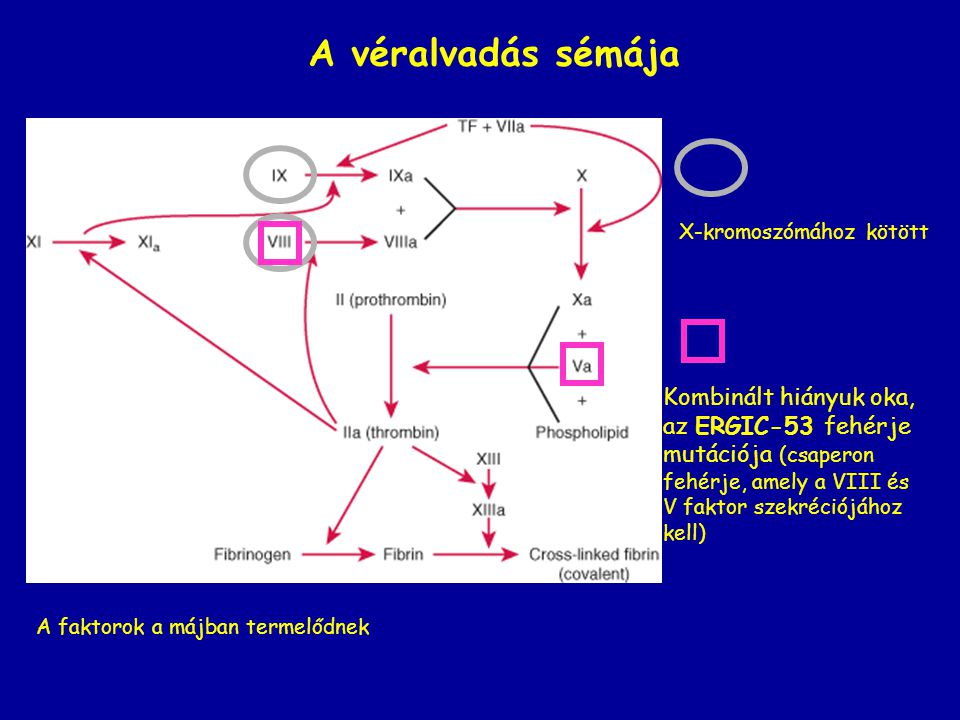 A véralvadás sémája Kombinált hiányuk oka, az ERGIC-53 fehérje