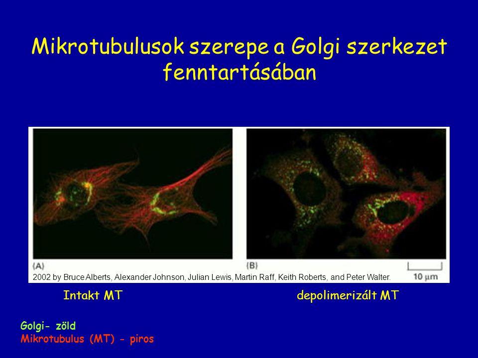 Mikrotubulusok szerepe a Golgi szerkezet fenntartásában
