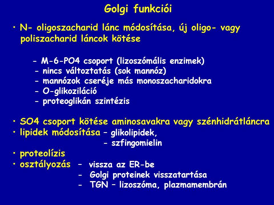 Golgi funkciói N- oligoszacharid lánc módosítása, új oligo- vagy
