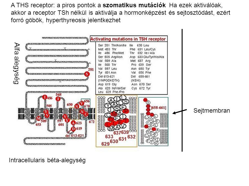 A THS receptor: a piros pontok a szomatikus mutációk Ha ezek aktiválóak, akkor a receptor TSh nélkül is aktiválja a hormonképzést és sejtosztódást, ezért forró göbök, hyperthyreosis jelentkezhet