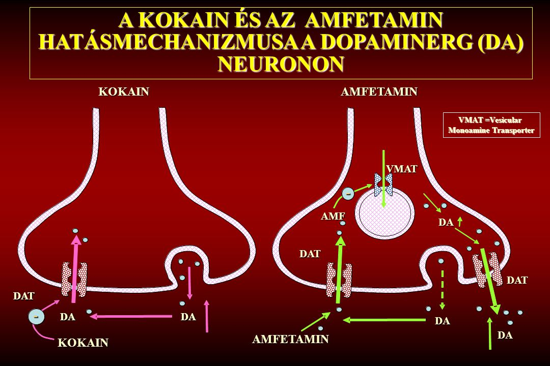 A KOKAIN ÉS AZ AMFETAMIN HATÁSMECHANIZMUSA A DOPAMINERG (DA) NEURONON