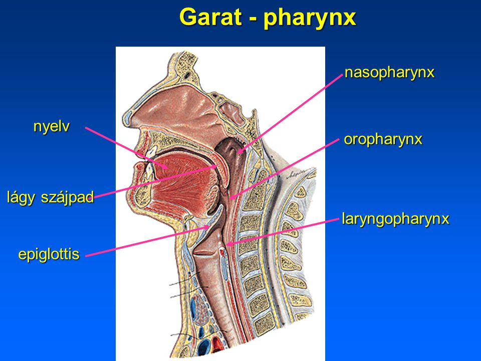Garat - pharynx nasopharynx nyelv oropharynx lágy szájpad