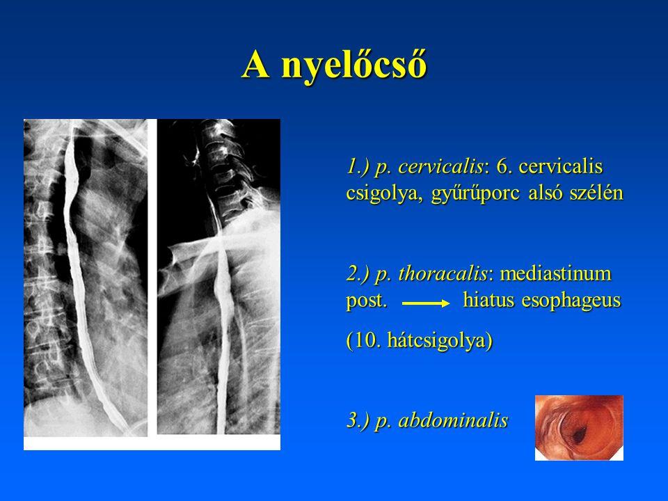 A nyelőcső 1.) p. cervicalis: 6. cervicalis csigolya, gyűrűporc alsó szélén.