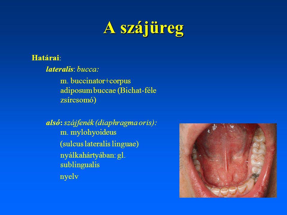 A szájüreg Határai: lateralis: bucca: