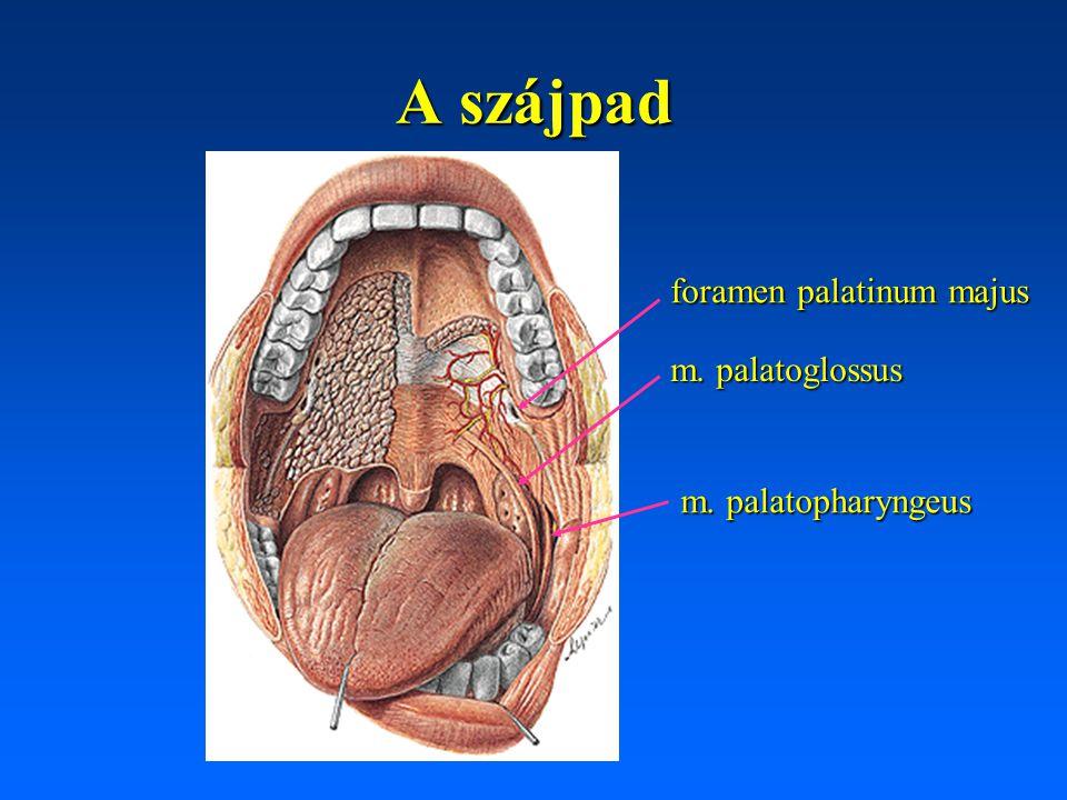 A szájpad foramen palatinum majus m. palatoglossus m. palatopharyngeus