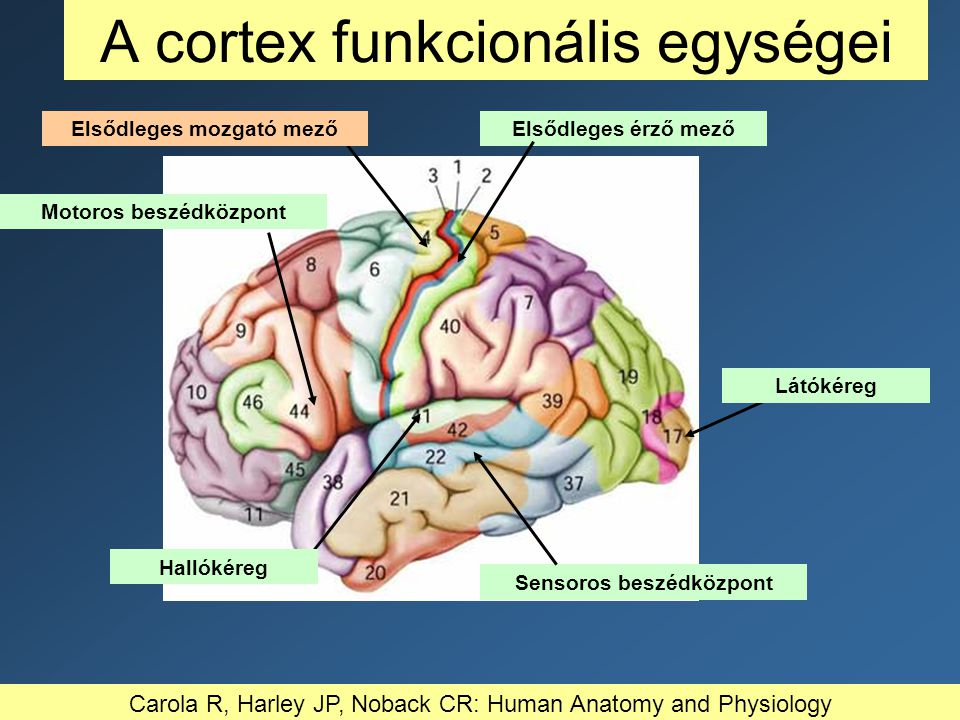 A cortex funkcionális egységei