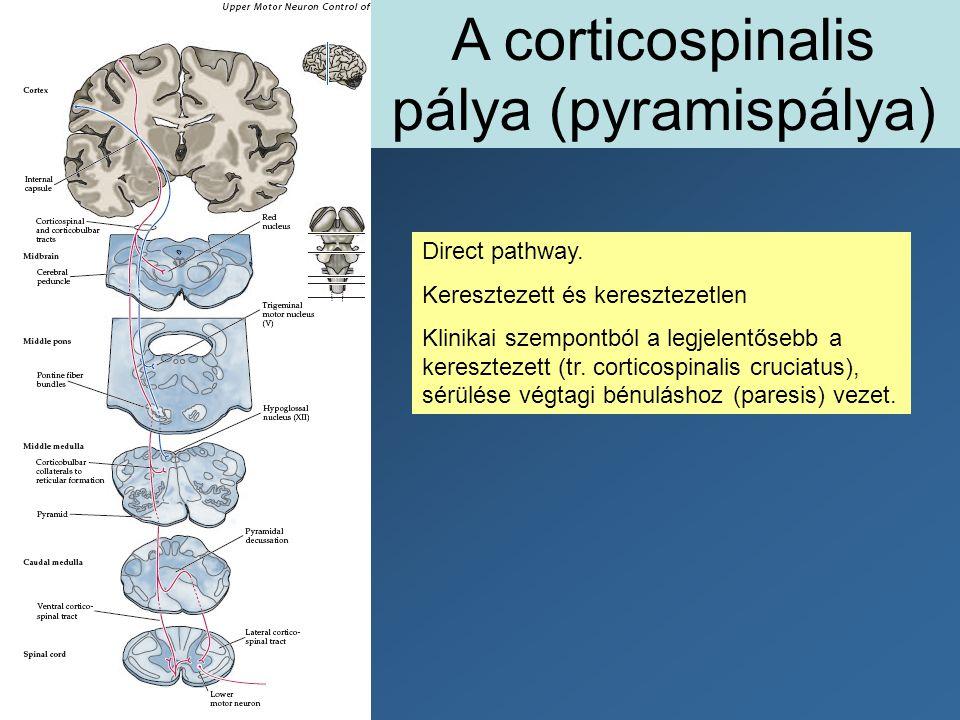 A corticospinalis pálya (pyramispálya)