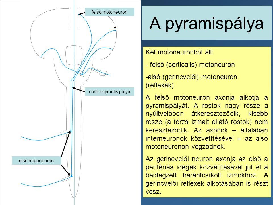 corticospinalis pálya